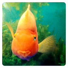 Pucker Up. (infa_reds) Tags: fish kisses 365 kissyface pucker fishy iphone puckerup 2013 365project uploaded:by=flickrmobile flickriosapp:filter=nofilter