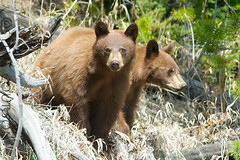 cinnamon black bear cubs (Steve Courson) Tags: yellowstonenationalpark cubs blackbear cinnamonblackbear stevecourson