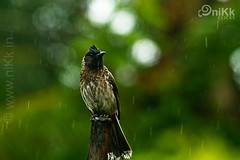 In the rain... (:: niKk clicKs ::) Tags: india nature rain birds canon wildlife birding kerala cochin bulbul nikk pycnonotuscafer redventedbulbul birdphotography intherain picnikk nikkclicks