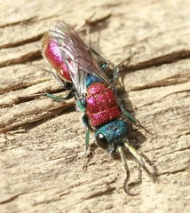 Macro_Photography_Cuckoo wasp 4 (kaliphoto) Tags: bug insect canon1855 canon100mm canonrebelxti kenkorings