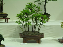 Larch group (Bonsaigirl) Tags: scotland display gardening bonsai caledonian 2013