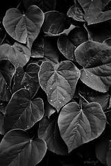 heart-shaped (Jen MacNeill) Tags: tree nature leaves garden leaf heart rainy raindrops redbud heartshaped jennifermacneilltraylor jmacneilltraylor jennifermacneill jennifermacneillphotography