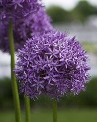 Purple Flower (gBethe) Tags: allium purpleflower purplepompomflower