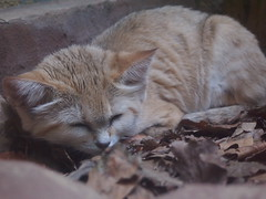 Dreaming Sand Cat (jennygriffiths1) Tags: sleeping berlin beautiful cat zoo sand calm dreaming sandcat