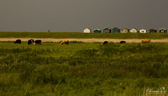 Field, Cows, Beach Huts and Sky (Chrisipe Photography) Tags: kent cows beachhuts whitstable seasalter canonef24105mmf4lisusm canon60d