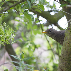 young blackbird? (Jill Sawyer Phypers) Tags: feeding juvenile blackbird hertfordshire gardenbirds birdsounds