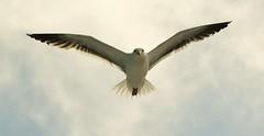 Gull on the Wing (hpromise-Jean Kohut') Tags: ngc npc supershot avianexcellence thewonderfulworldofbirds coth5 5wonderwall sunrays5 vigilantphotographersunite