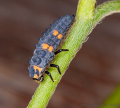 Seven-spot Ladybird larvae. (Tony Brierton) Tags: ireland macro newcastle insects bugs flies ladybird beetles larvae biodiversity cowicklow coccinellaseptempunctata sevenspot 12613 irishwildlife ecnr