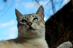 IMGP7642 (EdmilsonFeldmann) Tags: blueeyes whitecat snowcat olhoazul blueeyedcat gatobranco gatodeolhosazuis gatodaneve