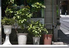 神保町 植木鉢 Chiyoda-ku, Tokyo (ymtrx79g ( Activity stop)) Tags: plant color slr film japan analog canon tokyo 東京 植物 chiyodaku jinbocho jimbocho 神保町 写真 千代田区 canonef 銀塩 フィルム efiniti efinitiuxisuper200 canonfd135mmf35scii 201306blog