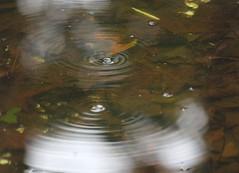 water beetles in shallow pond (Squash Goddess) Tags: water insect pond beetle whirligig whirligigbeetle waterbeetles