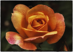 late summer rose (SleepingBear) Tags: friends rose fabulousflowers sleepingbearimagewear asingleflower macroflowerlovers awesomeblossoms unforgettableflowers nikond300s lakeviewparkrosegardenslorainohio