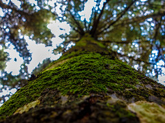 Mossy Trunk (djagil) Tags: macro forest moss greece evoia