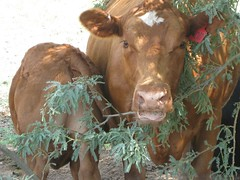 Pardon My Rear, I'm Nursing (Chic Bee) Tags: arizona campus cow tucson center jersey calf nursing guernsey uofa agricultural universityofarizona agriculturalcenter
