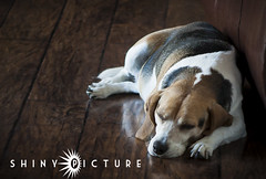 sleepy Monday (1 of 1) (shiny picture) Tags: sleeping dog beagle lazy