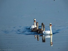 Swan family 2. (greeny 1) Tags: nature birds fuji wildlife yorkshire swans lightroom rspb flowersnature wildlifebirds
