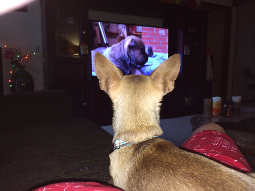 Dobby watching his favorite puppy show