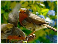 You called!!! (macfudge1UK) Tags: uk england food bird nature robin fauna bug spring bush europe branch erithacusrubecula britain wildlife ngc caterpillar gb perch oxfordshire avian oxon 2014 behaviour perching naturesfinest coth britishbirds ©allrightsreserved britishbird bbcspringwatch avianexcellence hs50 goldwildlife 100commentgroup coth5 birdperfect rspbgreenstatus fujihs50 fujihs50exr fujifilmfinepixhs50exr fujifilmhs50exr hs50exr