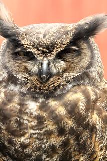Great Horned Owl (Bubo virginianus) [2]