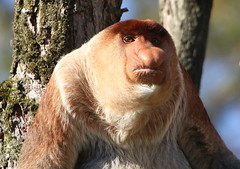 In Memoriam: Bagik (Ger Bosma) Tags: male death apenheul inmemoriam apeldoorn died 2015 proboscismonkey nasenaffe longnez nasique nasalislarvatus neusaap nasica largenose bekantan monyetbelanda orangbelanda mononarigudo longnosedmonkey dutchmonkey primatezoo bagik singetrompe nosacz mononsico   nosaczsundajski 2mg77575
