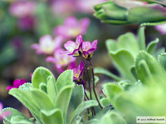 DSC_3897 (Roelofs fotografie) Tags: flowers flower holland color green nature dutch happy cozy spring nikon groen nederland natuur bloemen wilfred gezellig bloem kleuren voorjaar neterlands d3200 roelofs