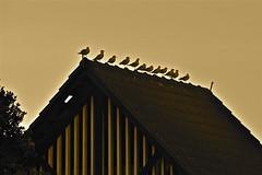Seagulls on the roof (Lynne Karen) Tags: newzealand seagulls nature birds northshore northisland milford milfordbeach standingbirds standingseagulls