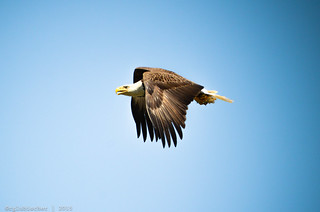 Bald Eagles of Conowingo - XXV [EXPLORED]