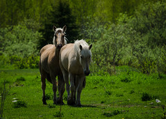 sans titre-272.jpg (turgeon.johanne) Tags: horse animal cheval ferme chevaux jument bte talon