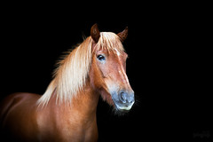(ingrid.schnelle) Tags: canon eos 5d mark ii ef85mm f12l usm horse equine horsephotographer equinephotographer horseportrait outdoors outdoor norge norway dreamy dof 2016 horsephotography equestrian equinephotography magical hest animal pferd nordlandshest lyngshest depth field bokeh