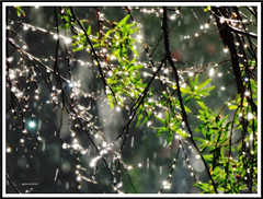 Bejeweled. (agphoto100) Tags: tree foliage water rain drops backlight backlit stylus olympus sz16 bloom orton frame wet bush bright colour