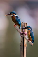 common kingfisher (Emu Alim) Tags: afsnikkor800mmf56efled afsteleconvertertc800125e gitzo nikond500 wh200wimberleyheadversioni afsnikkor800mmf56efledvr afsteleconvertertc800125eed wh200wimberleyheadversionii