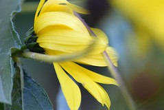 Rudbeckia Laciniata 15.10 (4) (tabbynera) Tags: rudbeckia