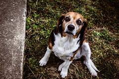 """""""I don't care what you have, I want it"""" (anniemwash) Tags: animal dog pet outdoor beagle canon canoneosrebelt5"""