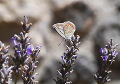Reverdin's blue (Plebejus argyrognomon), Chateau de Peyrepertuse (Niall Corbet) Tags: france languedoc roussillon occitanie aude peyrepertuse blue reverdinsblue plebejusargyrognomon butterfly