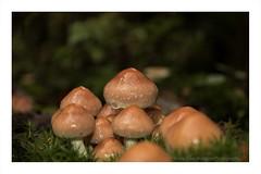 mushrooms (alamond) Tags: autumn forest mushrooms macro moss canon 7d markii mkii llens ef 1740 f4 l usm alamond brane zalar