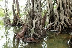 Root (gambajo) Tags: vietnam hanoi root trees water lake temple natur nature vsco vscocam