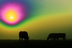 20161010-10b_Hazy Sun_Dawn Mists + Cattle (weird solarize effect) (gary.hadden) Tags: rugby warwickshire littellawford kingsnewnham middleengland landscape dawn sunrise mist softlight goldenhour cow cattle bullock cows