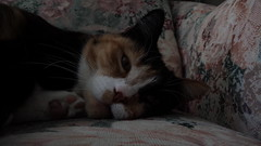 Autumn (universalcatfanatic) Tags: cats autumn tortoiseshell tortie calico orange black white cat lay laying pink flower print chair living room livingroom green close up dark gold golden brown yellow eyes eye foot feet nose ears whiskers whisker