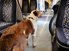 Merseyrail Bailey (deltrems) Tags: southport sefton merseyside bailey pet dog welsh border collie merseyrail emu electric multiple unit class507 train car carriage railway rail