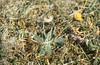 Hieracium pilosella in moss. Golden pleurocarp is Camptothecium lutescens. Gileston October 1975