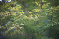 DSC04009 (Old Lenses New Camera) Tags: sony a7r schneider schneiderkreuznach xenon 5cm 50mm f2 plants garden tree leaves japanesemaple