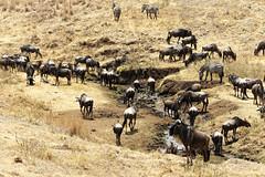 Wildlebeest's herd at the river (Nicolas Bousquet) Tags: wildlebeest tanzanie tanzania safari gamedrive ngorongoro savana savane wildlife da55300 55300 pentaxk3
