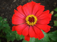 Red Zinnia (R_Ivanova) Tags: flower flowers zinnia garden colors color red green nature macro plant summer sony rivanova