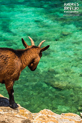 Posicion dominante (Andres Breijo http://andresbreijo.com) Tags: cabra animal extincion cabrapitiusa formentera baleares balearic mar sea