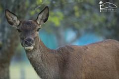 Voil le haut. (Les Frres des Bois) Tags: cerf biche cervuselaphus cervids cervus cervidae femelle