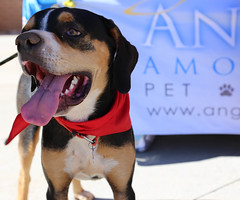 dudleywalker-6013 (angelsrescue) Tags: aau pets angels among us pet rescue alpharetta ga dog love