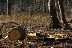 ckuchem-7202 (christine_kuchem) Tags: wald abholzung baum baumstmme bume einschlag fichten holzeinschlag holzwirtschaft waldwirtschaft