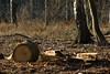 ckuchem-7202 (christine_kuchem) Tags: wald abholzung baum baumstämme bäume einschlag fichten holzeinschlag holzwirtschaft waldwirtschaft