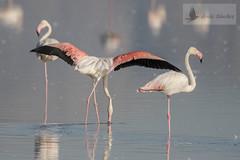 Flamenco común (Phoenicopterus roseus) (jsnchezyage) Tags: flamencocomún phoenicopterusroseus ave pájaro fauna naturaleza birding bird coth5
