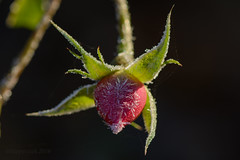 Frost (hippyczich) Tags: frost rose bud macro bokeh leaves